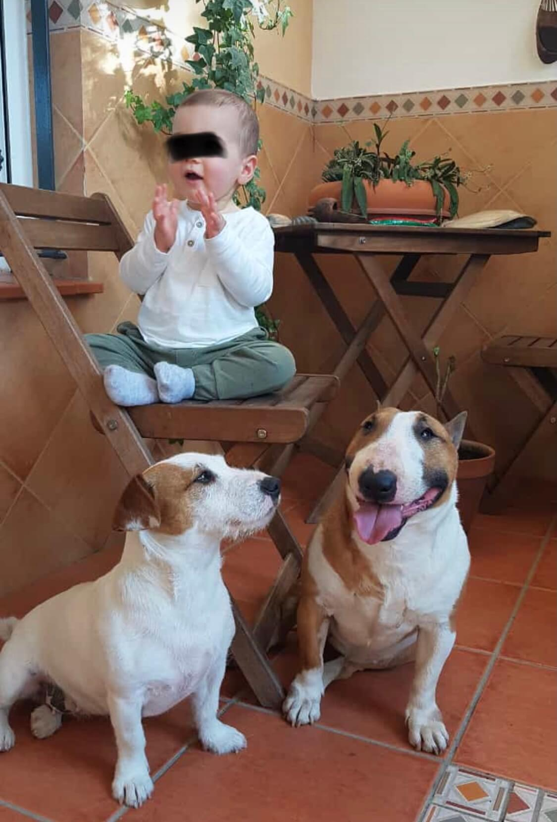 Que hacer si bull terrier se muestra agresivo