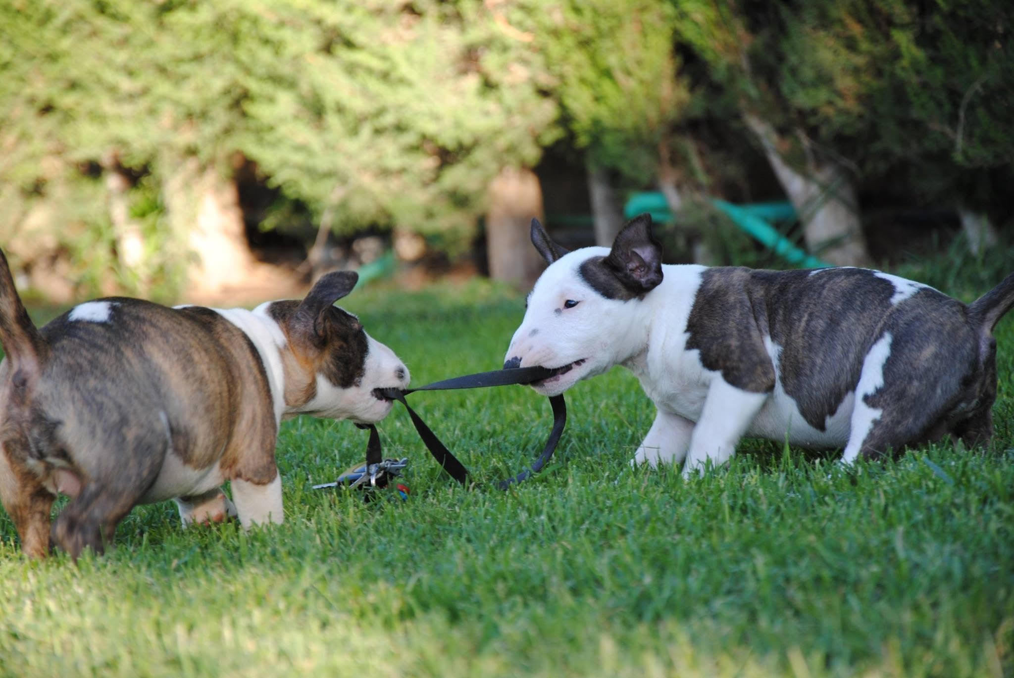 bull terrier miniatura 2 atrigados blanco
