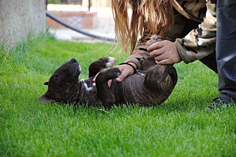bull terrier miniatura atrigado oscuro solido