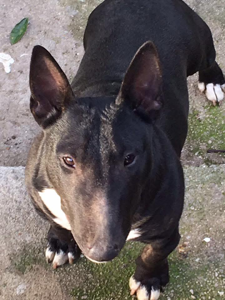 bull terrier miniatura negro atrigado solido