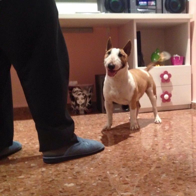 bull terrier miniatura canela blanco