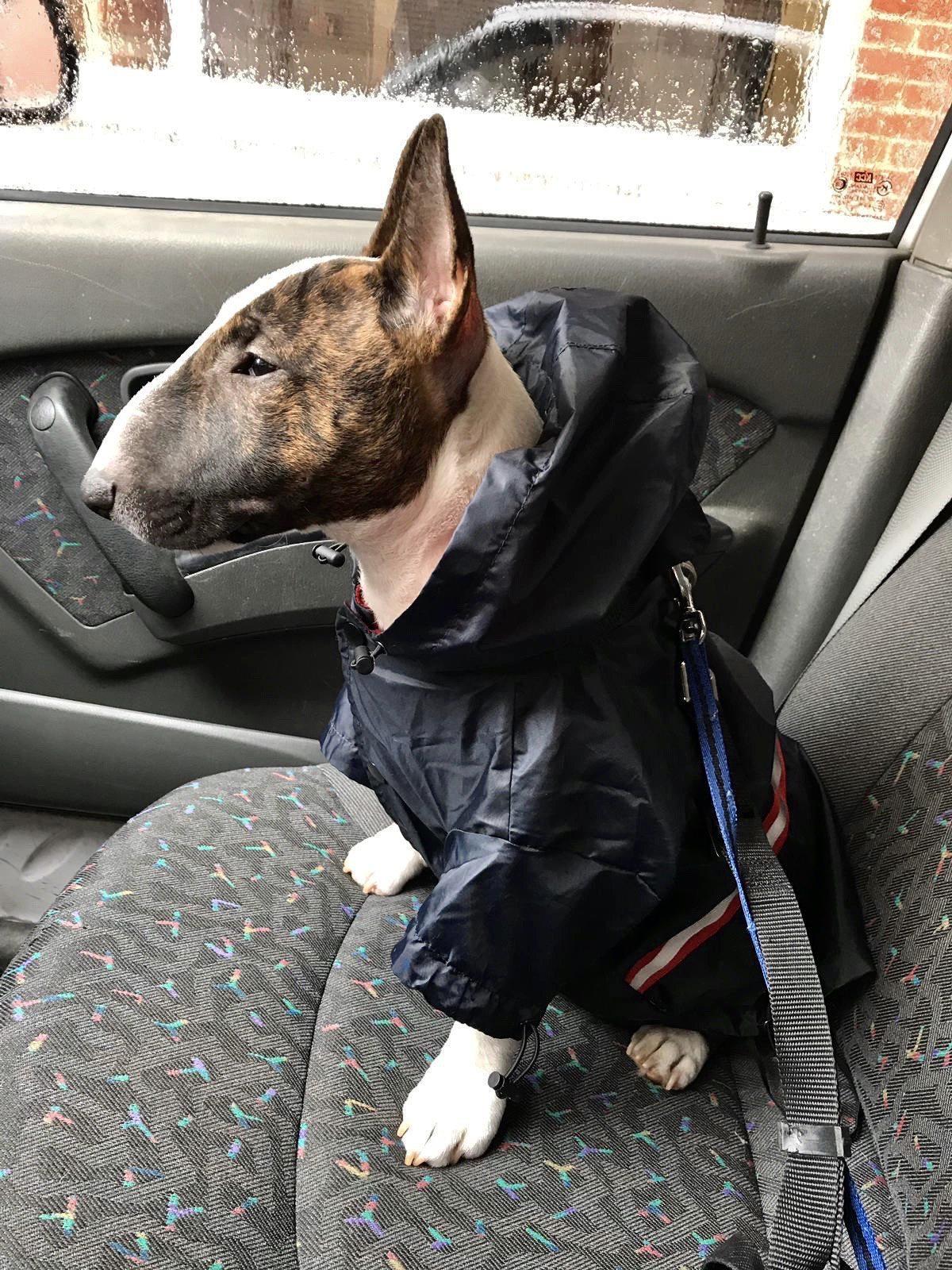 como proteger frio bull terrier miniatura