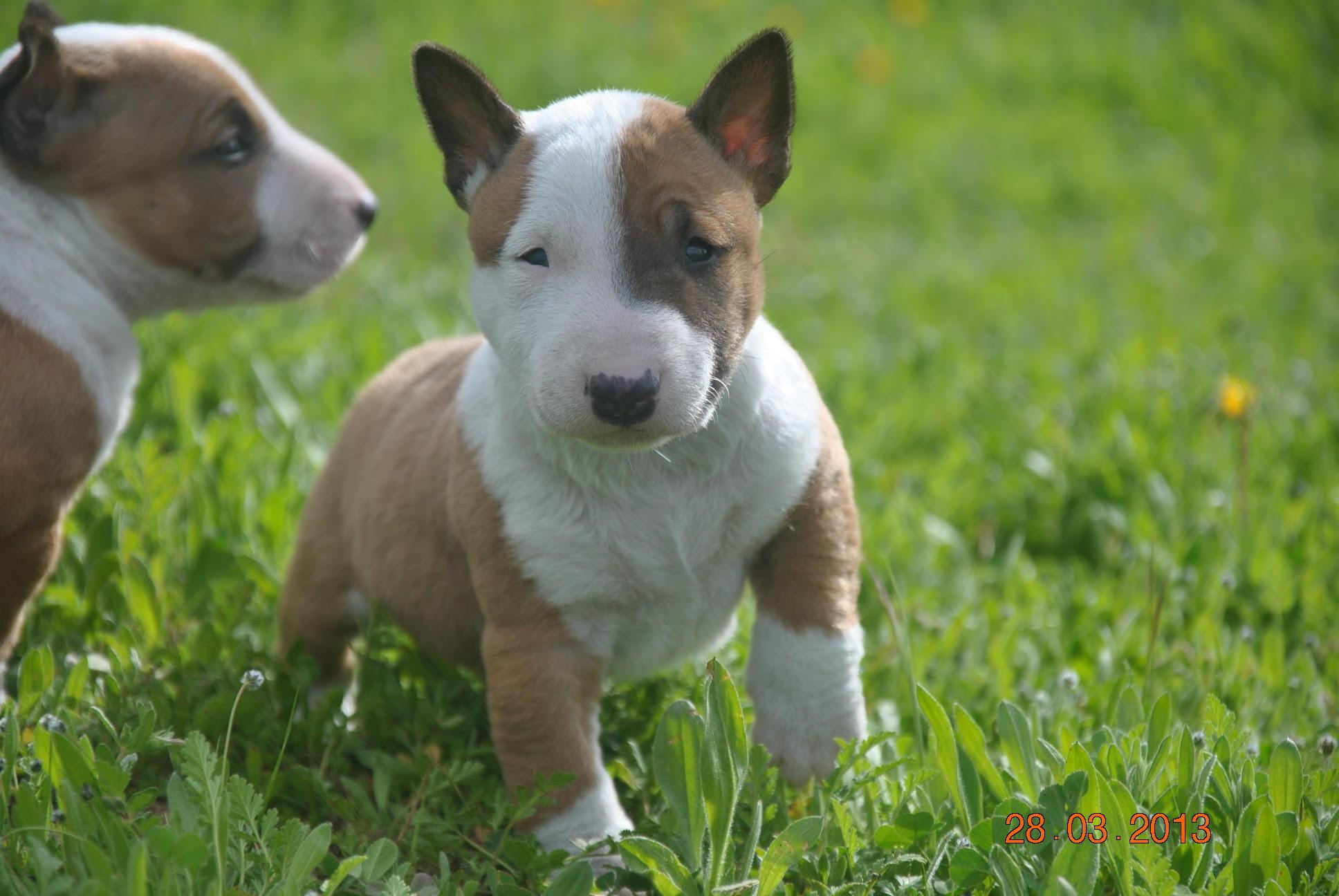 donde comprar bull terrier miniatura