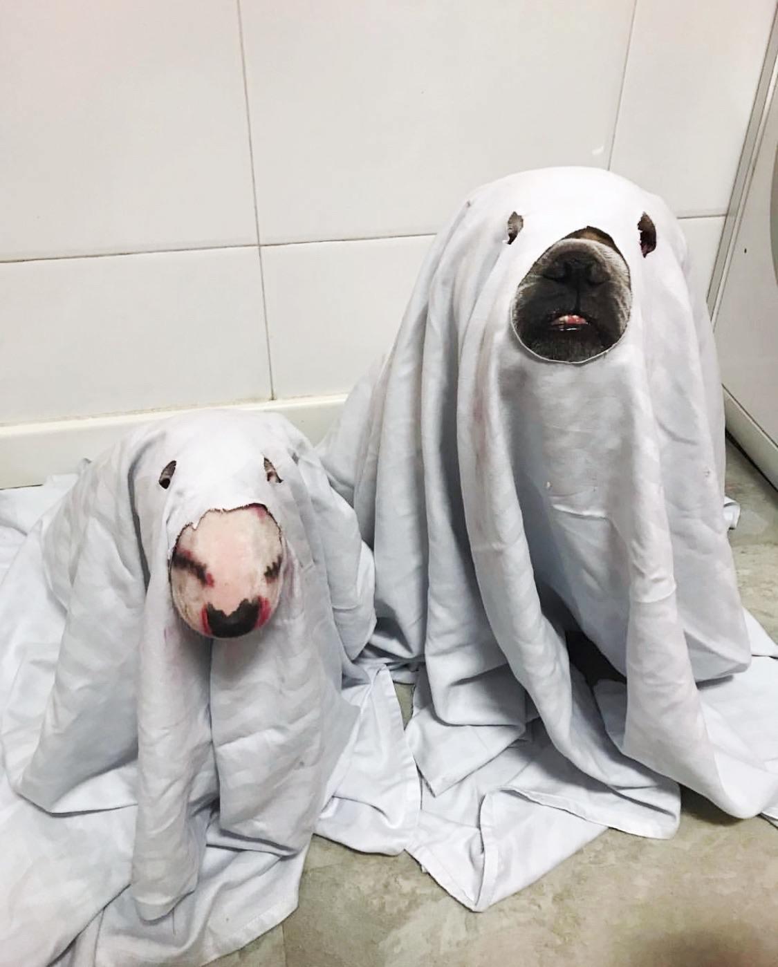 Lavar bull terrier