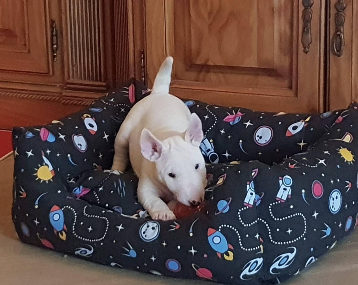 proteccion frio Bull Terrier Miniatura