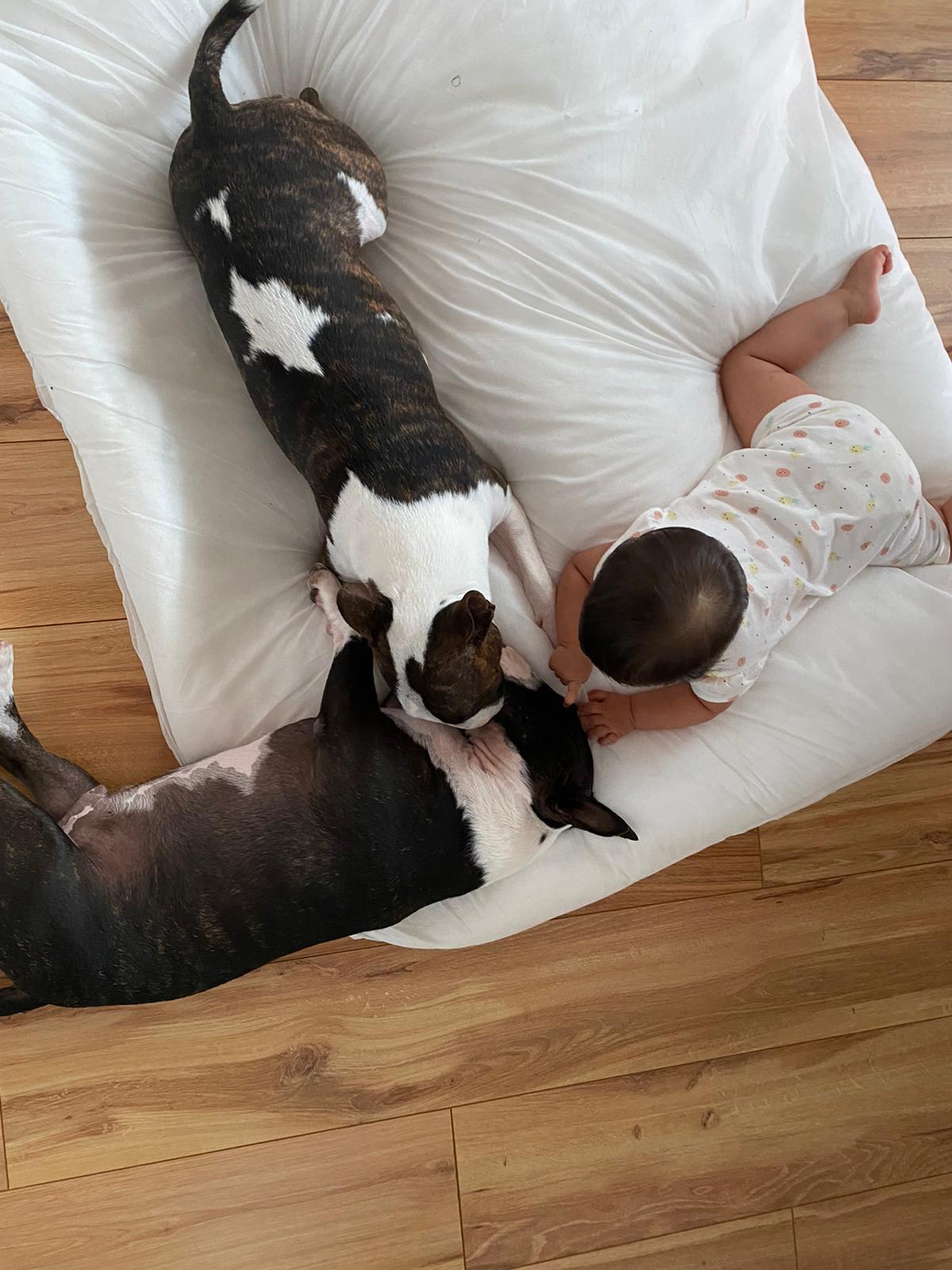 Adaptar bull terrier miniatura a la llegada de un nuevo perro