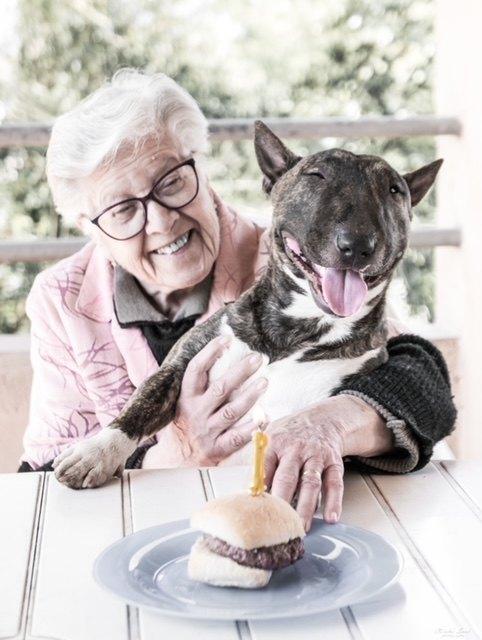 Alimentos que no debes darle a Bull terrier miniatura