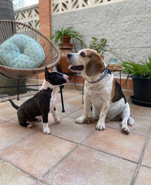 Ventajas de tener un perro bull terrier miniatura