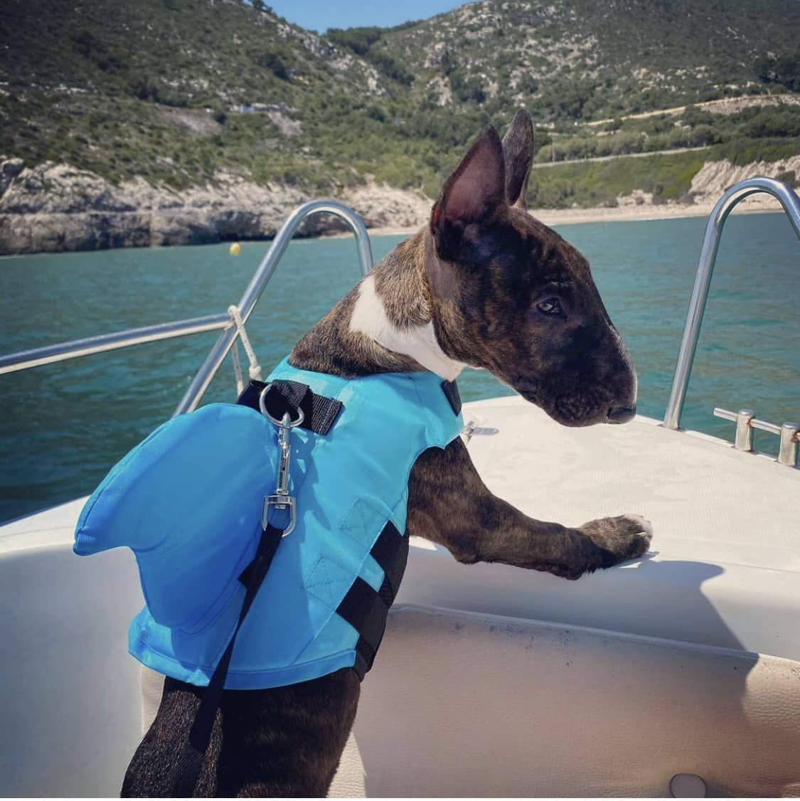 Consejos para enseñar a nadar a un perro bull terrier mini