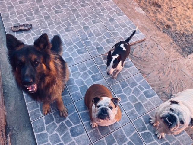 COnsejos para una buena convivencia entre bull terrier y otros perros