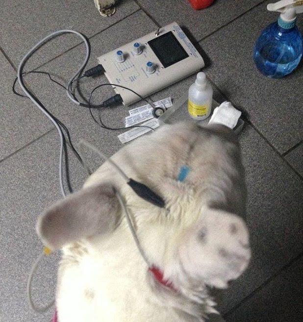 enfermedades un bull terrier miniatura