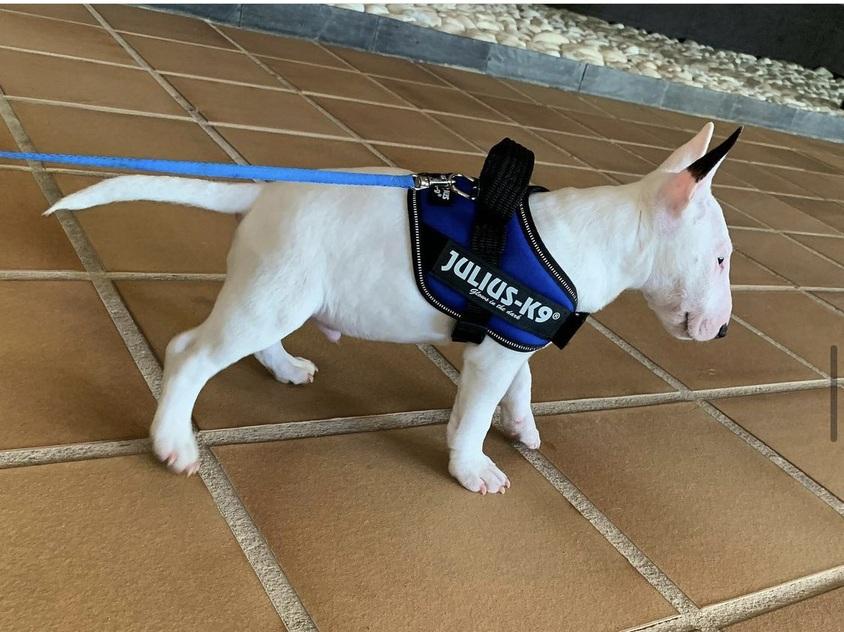 Consejos para los celos del bull terrier mini