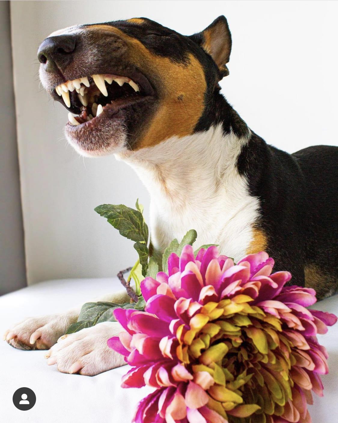 Eliminar el sarro en los dientes bull terrier