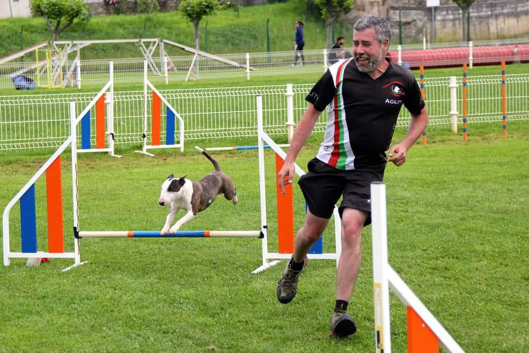 como entrenar un bull terrier miniatura