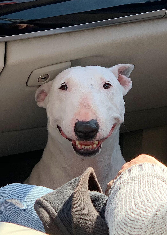 Como interpretar lo que quiere decir Bull Terrier