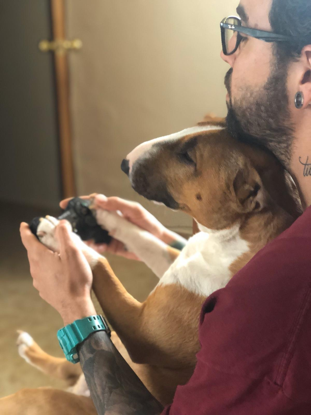 Como afecta coronavirus a Bull Terrier miniatura