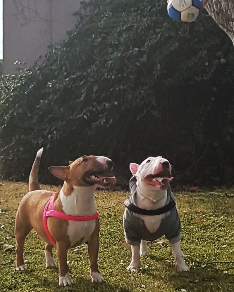 Qué cosas detesta un bull terrier mini