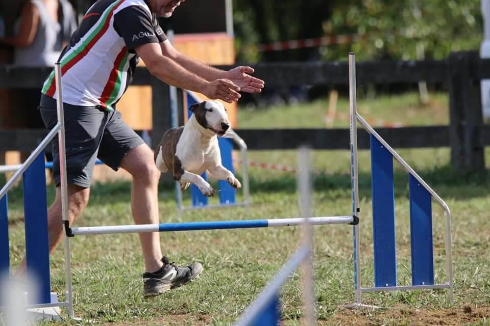 Deporte agility Bull Terrier miniatura