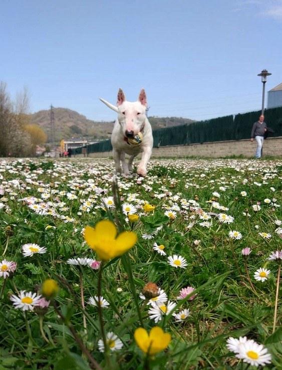 como pasear Bull Terrier Miniatura