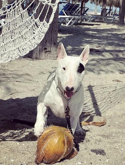 Consejos para limpiar los ojos del bull terrier mini