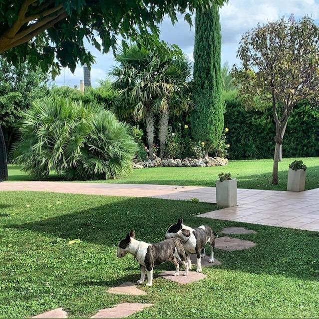 Adaptar Bull terrier miniatura a la llegada de nuevo cachorro