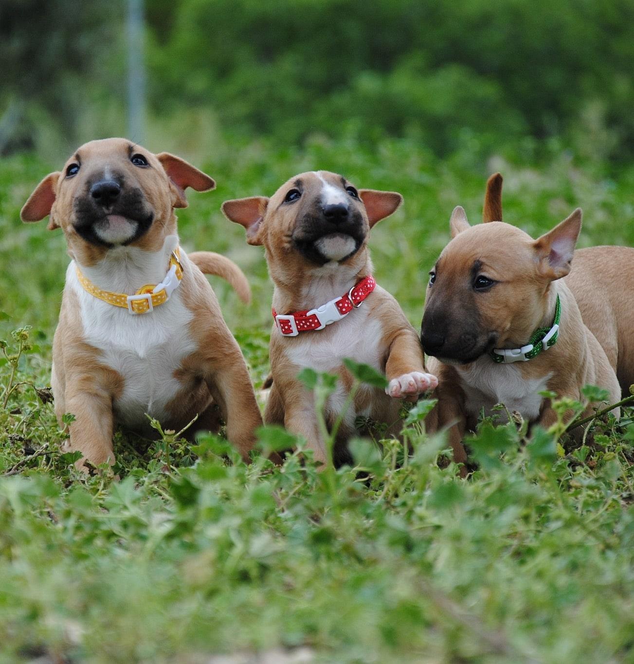 Parásitos que pueden afectar al bull terrier miniatura
